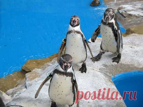 Three Penquins  Free Stock Photo HD - Public Domain Pictures