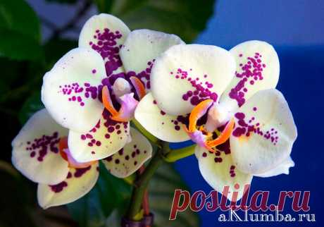 Орхидеи способны украсить любой оранжерейный сад. Здесь представлены самые популярные и красивые виды орхидей с фото, названиями и описанием в виде списка.