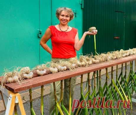 Премудрости выращивания чеснока — Сияние