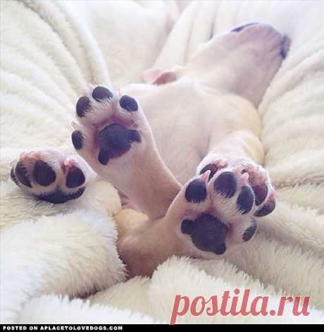 Frenchie Puppy Toes - A Place to Love Dogs