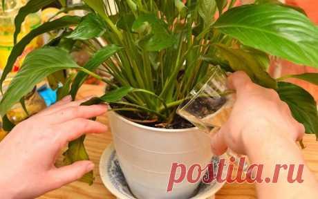 Если залить банановую кожуру водой, она способна творить чудеса с домашними растениями!