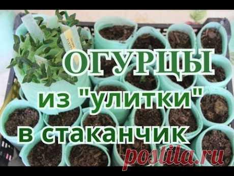 """Сажаем Огурцы из """"улитки"""" в стаканчики."""