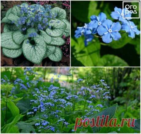11 красивых цветов для тени и полутени   Цветники и клумбы (Огород.ru)