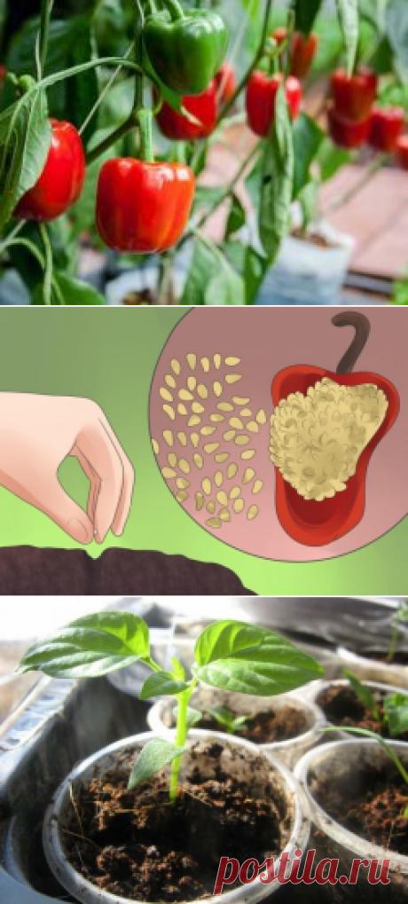 Советы Октябрины Ганичкиной: посадка перца на рассаду, видео, выращивание в домашних условиях из семян, правила посева, пикировка, фото