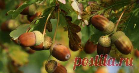 Желуди - целебные плоды дуба | Дары природы | Яндекс Дзен