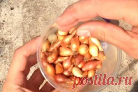 Как подготовить лук-севок к посадке весной Лук − полезный овощ, который любят выращивать огородники. Для получения качественного урожая луковицы нужно заранее подготовить к посадке