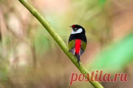 Фотографии экзотических птиц, обитающих в бразильских джунглях