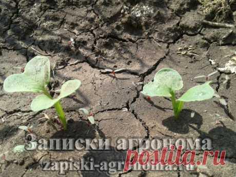 Выращивание дайкона в открытом грунте в климатических условиях Саратовской области, Балаковского района, меры борьбы с крестоцветной блошкой