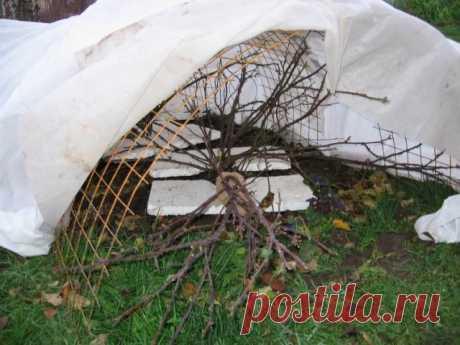 Какие цветы укрывать на зиму  В октябре с наступлением первых заморозков надо укрыть клематисы. Снимите их с опоры и кольцом уложите на землю. Сверху накройте лапником, на него насыпьте сухие листья и положите еще лапник, чтобы не разлетались листья. Можно над уложенными на землю растениями поставить деревянный или пластмассовый ящик, засыпать его листьями и укрыть ветками.