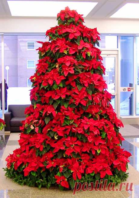 Подарок на Рождество: пуансетия – цветок Святой ночи