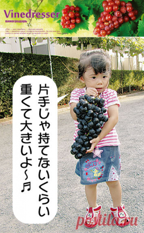 Сорт винограда Black Beat (Блэк Бит) - описание и фото