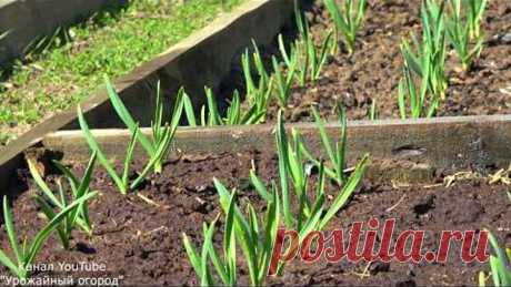 WITH THIS TOP DRESSING GARLIC WILL GROW LARGE AND HEALTHY!