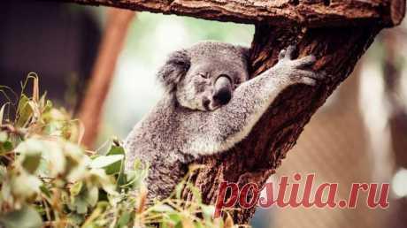 Деревья для коалы становятся холодильниками Когда коала часами сидит, обхватив лапами широкий ствол акаций, это означает, что животное не пытается удержаться от падения – оно пытается охладиться.