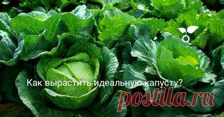 Как вырастить идеальную капусту? Вырастить идеальную капусту совсем несложно, если уделять своему участку немного внимания и заручиться поддержкой эффективных препаратов.