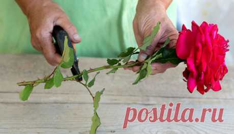 Как вырастить розу из срезанного цветка