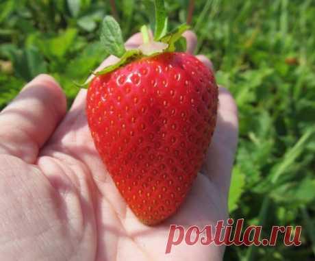 5 овощей и 3 ягоды, которые золой не подкармливают | В саду у Валентинки | Яндекс Дзен
