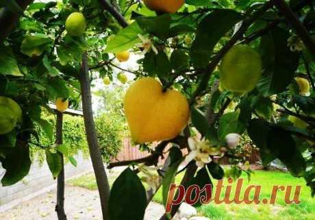 Ваше сердце и лимон. Полезные рецепты для сердца и сосудов