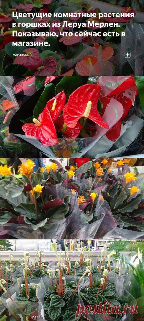 Цветущие комнатные растения в горшках из Леруа Мерлен. Показываю, что сейчас есть в магазине. | Марина Мэй | Яндекс Дзен