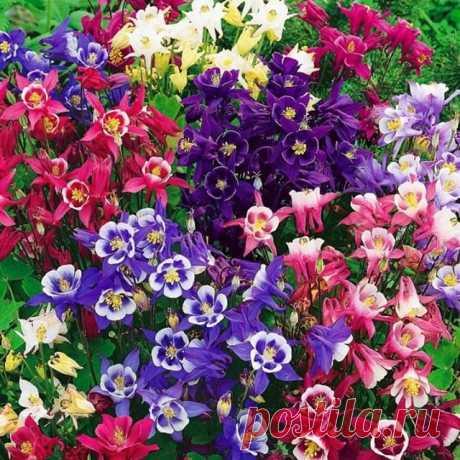РАЗМНОЖЕНИЕ АКВИЛЕГИИ Она легко размножается семенами или делением кустов. Семена хорошо всходят, если очень свежие, последнего сбора. Их можно высевать под зиму на постоянное место или весной. Перед посевом для улучшения всхожести семена нужно в течение 3-4 недель прогреть при 35 градусах. При подзимнем посеве высевают сухие семена, а весной их можно обработать и прорастить.  Глубина заделки - не более 1 см. Всходы прореживают в два этапа до нужного расстояния в зависимос...