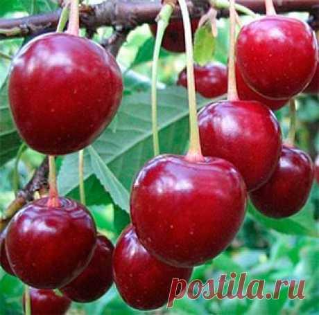 """Почему не плодоносят вишни и сливы. Сайт """"Садовый мир"""" Садовый Мир Садовый Мир"""