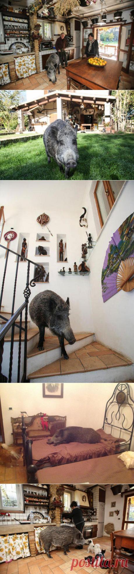 Cпасшие дикого кабана люди, поселили его у себя дома.