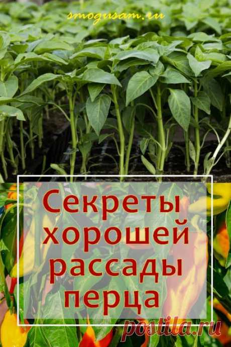 Как вырастить хорошую рассаду болгарского перца в домашних условиях