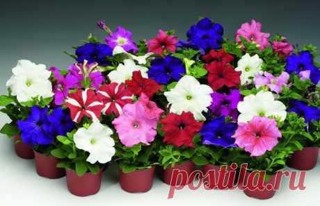 Посевы петунии в пластиковые контейнеры под снег и на торфяные таблетки Петунии, наряду с розами, - признанные любимицы всех цветоводов и садоводов. Необыкновенно красивые петунии радуют глаз обильным и продолжительным цветением в течение всего садового сезона, вплоть до существенных осенних холодов...