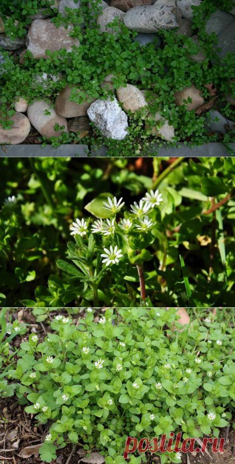 МОКРИЦА — не просто сорняк, а настоящая зеленая аптека под ногами!!! | 6 соток