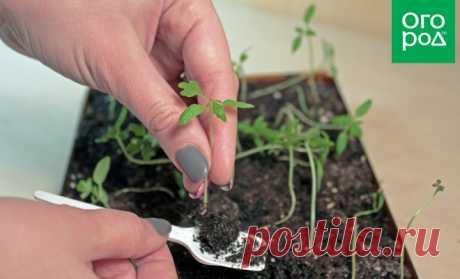 Пикировка рассады помидоров – пошаговый мастер-класс с фото, пригодится!
