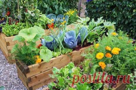 Растения спутники, полезное соседство овощей