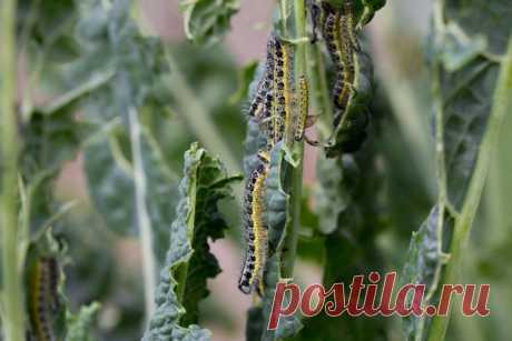 Копеечный способ борьбы с гусеницами на капусте | Твоя усадьба | Яндекс Дзен