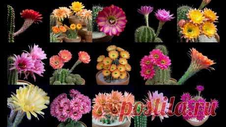 Как цветут кактусы: красота в замедленной съемке.
