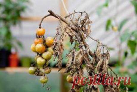 Спасаем урожай, пораженный фитофторой