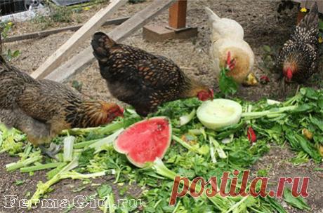 Чем кормить кур: виды кормов, номы питания зимой и летом