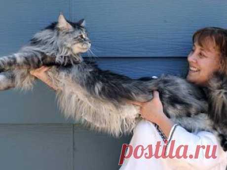 Самый длинный кот в мире.