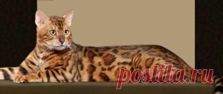 Spotsnglitz Bengals