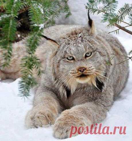 Сибирская рысь!!! Красота!