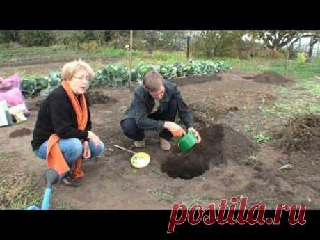 Как посадить клубнику усами .