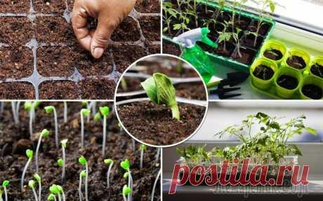 Когда сеять овощи на рассаду Залог хорошего урожая овощей – грамотно выращенная рассада. Разбираемся в том, как правильно рассчитать время посева семян, чтобы результат превзошел все ожидания!Выращивание рассады требует ответстве...