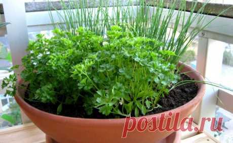 Как вырастить многолетние травы на балконе и стоит ли игра свеч