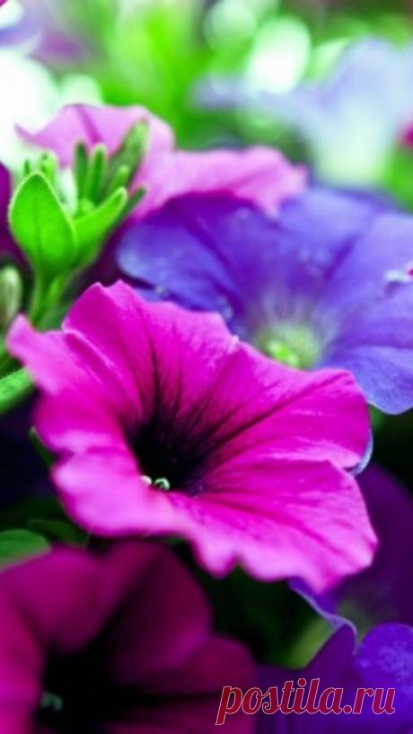 Маленькие хитрости по выращиванию петунии - Советы и Рецепты