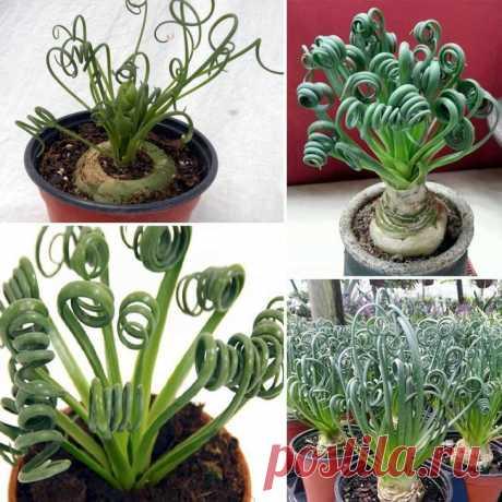 Альбука спиральная Такое травянистое растение, как альбука (Albuca) имеет прямое отношение к семейству спаржевые (Asparagaceae). В природе его можно повстречать в Южной Африке. Такое не совсем обычное название связано с...