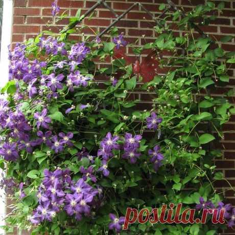 Украшать красивыми цветами загородные дома, дачи является неотъемлемым атрибутом ландшафтного дизайна. Высаживая разнообразные плетущиеся сорта растений, нужно позаботиться о создании, размещении красивой опоры для них, способной гармонично дополнить экстерьер садового участка. В этой статье мы расскажем, как делается опора для клематиса своими руками, чтобы такие вьющиеся цветы могли радовать эстетичным оформлением...