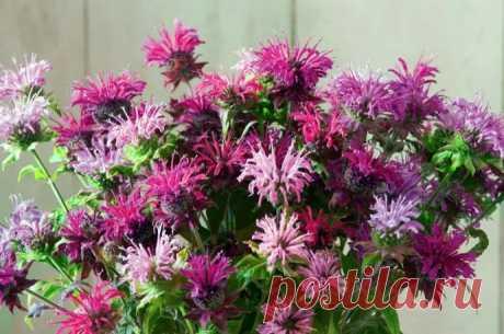 Монарда – симпатичный цветок, который пригодится в кулинарии.