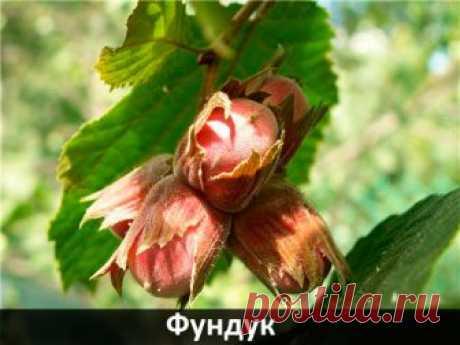 Купить саженцы ореха фундука в Украине: Киев, Харьков, Днепр, Одесса