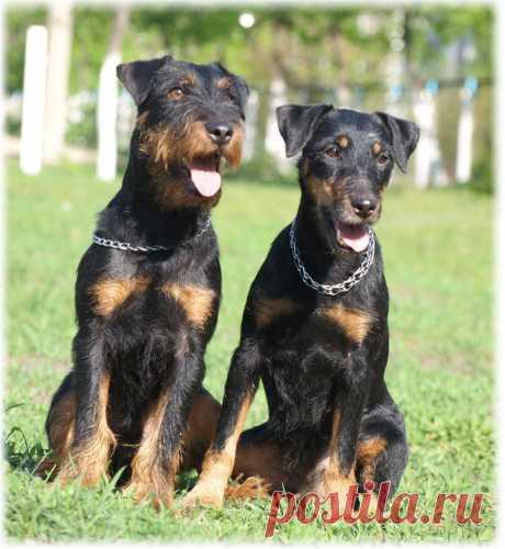 ༺🌸༻. Немецкий ягдтерьер - немецкий охотничий терьер, норная порода собак.