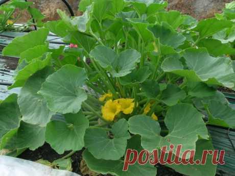 Пять простых этапов выращивания кабачков