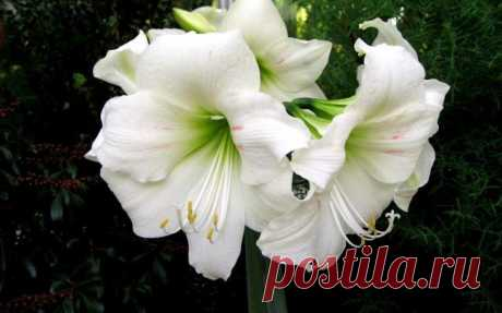 La amarilis: cuidamos la planta bulbosa correctamente la Amarilis — la planta bulbosa de un modo excepcional hermosa, las grandes flores velichestvenno se elevan sobre las hojas verdes oscuro, anchas y exhalan el aroma inconfundible. La flor es tanto encantadora que mn...