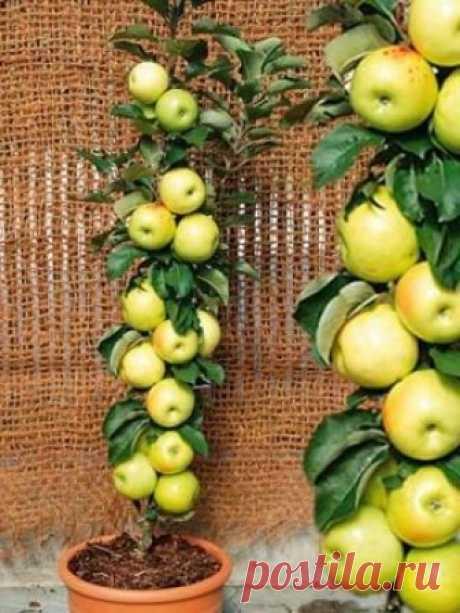 """ЯБЛОНЯ """"БАЛЕРИНА"""": МАЛЕНЬКОЕ ДЕРЕВО – БОЛЬШОЙ УРОЖАЙ    Свое название эта яблоня получила за свой изящный вид, прям как у настоящей балерины. Ее также называют колоновидной яблоней. В длину дерево достигает максимум 2,5 метра, а в ширину всего 30 см, по…"""