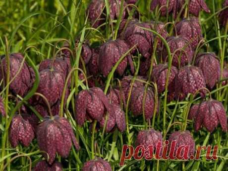 Посадка цветов рябчиков весной: наглядная инструкция